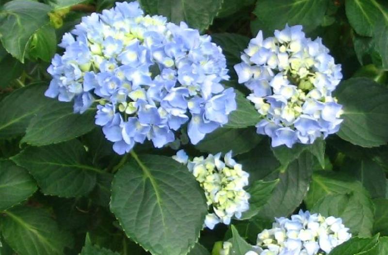 Hortensja, Hortensje - Hydrangea