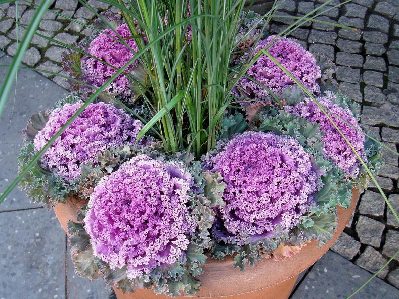Kapusta ozdobna – Brassica oleracea