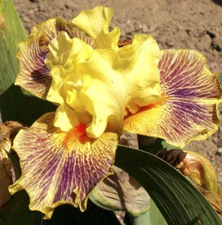 Kosaciec pstry Irys - Iris variegata