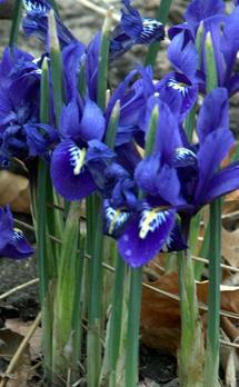 Kosaciec żyłkowany Irys – Iris reticulata