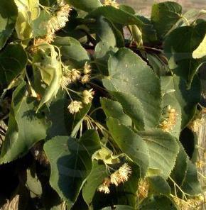 Lipa drobnolistna – Tilia cordata Mill