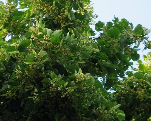 Lipa szerokolistna – Tilia platyphyllos