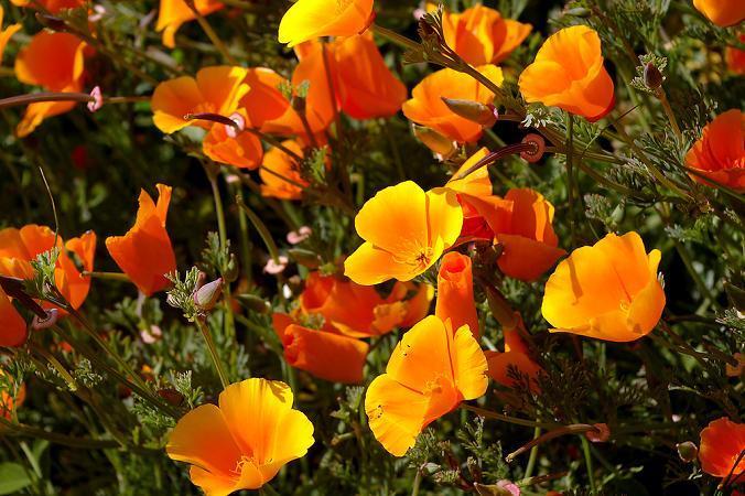 Maczek kalifornijski, pozłotka - Eszolcja kalifornijska