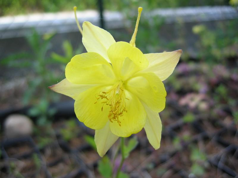 Orlik złocisty - Aquilegia chrysantha