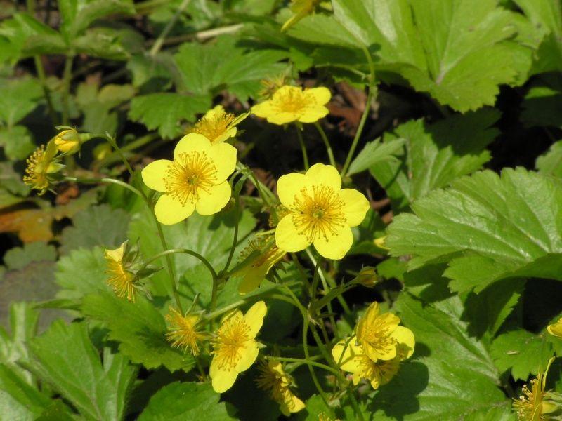 Pragnia syberyjska - Waldsteinia sibirica