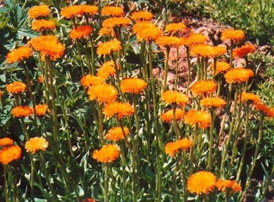 Przymiotno pomarańczowe - Erigeron aurantiacus