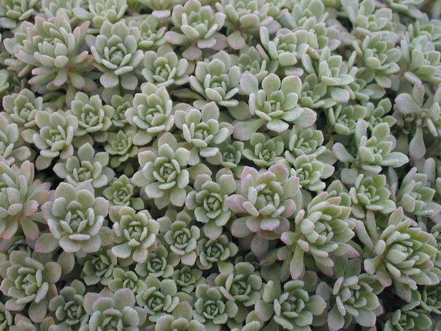 Rozchodnik sinolistny - Sedum glaucophyllum