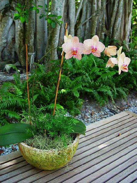 Storczyk, Storczyki, Orchidea - Orchideceae