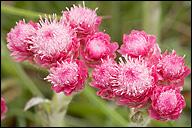 "Ukwap Dwupienny ""Rubra"" – Antennaria Dioica ""Rubra"""
