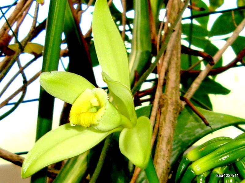 Wanilia płaskolistna (v.planifolia inaczej v.fragrans)