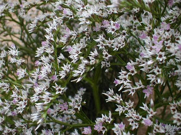 Zatrwian tatarski - Limonium tataricum