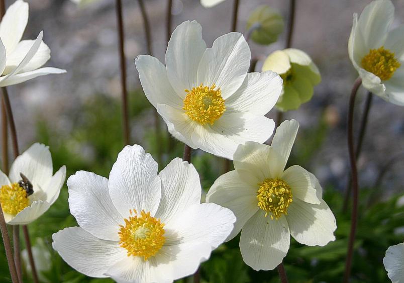 Zawilec wielkokwiatowy - Anemone sylvestris