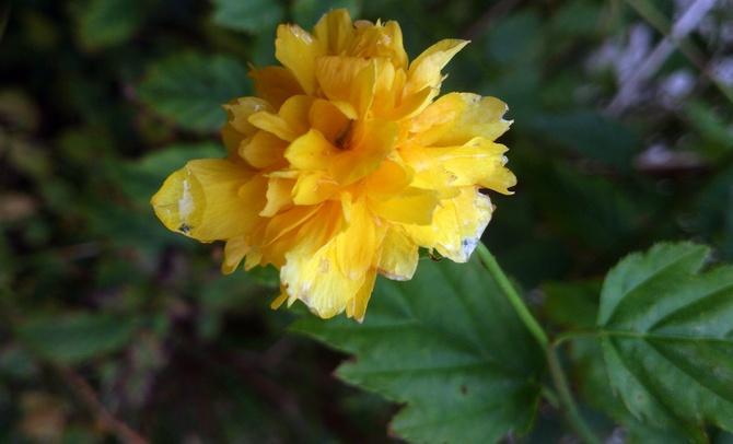 Złotlin Japoński - Kerria japonica