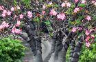 Adenium – róża pustyni - uprawa i pielęgnacja