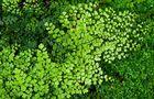 Adiantum zdjęcia rośliny