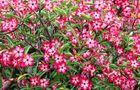 Adenium - róża pustyni kwitnienie