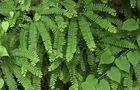 Adiantum liście