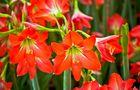 Czerwony amarylis - zwartnica