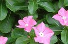 Barwinek - Catharanthus roseus