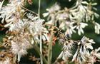 Bokkonia sercowata – Macleaya cordata