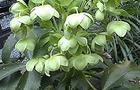 Ciemiernik korsykański - Helleborus argutifolius