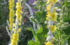 Dziewanna omocząna - Verbascum bombyciferum