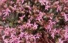 Firletka poszarpana - Lychnis flos-cuculi
