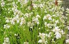Firletka smółka - Lychnis viscaria alba