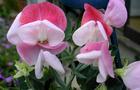 Groszek pachnący - Lathyrus odoratus