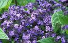 Heliotrop peruwiański - Heliotropium arborescens