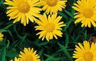 Kołotocznik wierzbolistny - Buphthalmum salicifolium