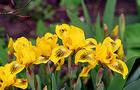 Kosaciec niski, Irys - Iris pumila