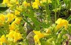 Kroplik żółty – Mimulus luteus