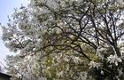 Magnolia pośrednia- Magnolia x soulangeana