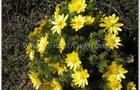 Miłek wiosenny – adonis vernalis