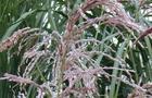 Miskant chiński – Miscanthus sinensis