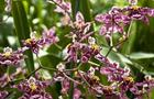 Motylnik – Oncidium ( storczyk )