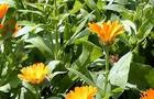 Nagietek, Nagietek lekarski – Calendula, Calendula officinalis