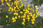 Pantofelnik dwukwiatowy - Calceolaria biflora