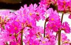 Pierwiosnek różowy - Primula rosea