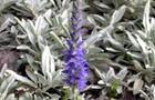 Przetacznik siwy - Veronica incana