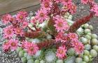 Rojnik pajęczynowaty - Sempervivum arachnoideum