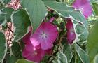 Ślazownik malwowy - Sidalcea malviflora