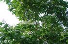 Surmia zwyczajna, surmia  – Catalpa bignoides