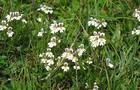 Świetlik łąkowy, świetlik  – Euphrasia officinalis