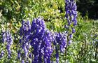 Tojad Arenda – Aconitum carmichaelii