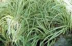 "Turzyca japońska pstrolistna – Carex Morrowii ""Variegata"""