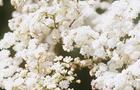 Wiązówka bulwkowa - Filipendulina vulgaris