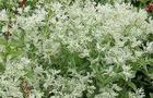 Wilczomlecz obrzeżony - euphorbia marginata