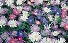 Zawilec powabny - Anemone blanda